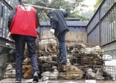 Truck with 1,500 Dogs Bound for Chinese Restaurants Stopped by Activists